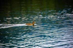 Duck on Alpine lake photo