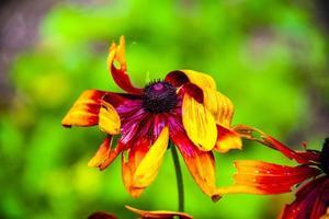 rudbeckia fulgida aiton flor foto