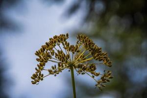 Wild fennel at the lake of Tret a Fondo photo
