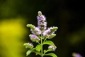flor de mentha longifolia foto