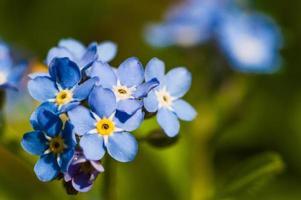 no me olvides flor con pétalos azules y centro amarillo foto