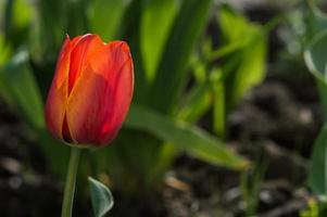 Primer plano de tulipanes con pétalos rojos y amarillos y hojas verdes foto