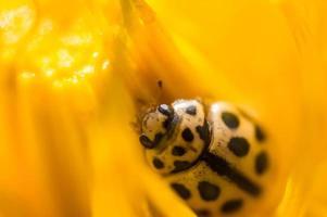 Little ladybug in macro hid in yellow petals of dandelion photo