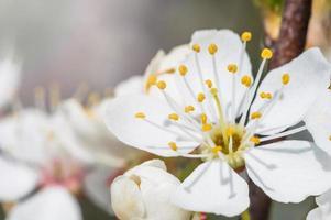 flores de manzana en macro con pétalos blancos foto
