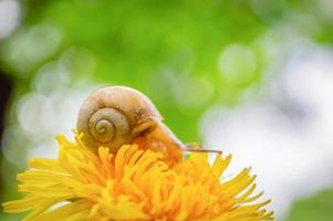 Burgundy snail on the  yellow dandelion in a natural environment photo