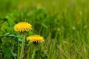 Yellow dandelions closeup on green grass photo