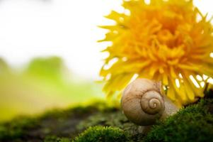Burgundy snail on the  green moss in a natural environment photo