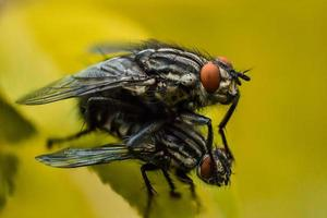 Two flies on  yellow background photo