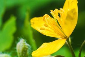 Yellow anemone in macro on green blurred background photo