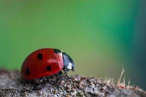 Ladybug with black eyes in macro photo