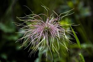 flor de anémona alpina foto
