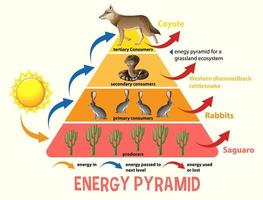 Science simplified ecological pyramid vector