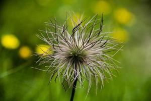 flor de genum montanum foto