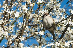 Sparrow on the branch of cherry plum tree photo