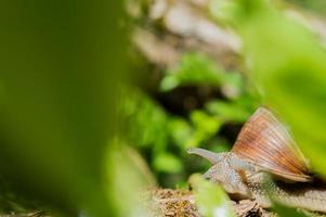 Wild little snail closeup in the green forest with blurred background photo