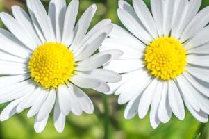 Fotografía macro de pequeñas flores de manzanilla con pétalos blancos foto