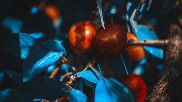 Ciruela cereza roja en macro con bokeh foto