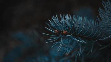 rama de abeto closeup con bokeh foto