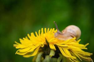 Caracol burdeos sobre el diente de león amarillo en un entorno natural foto