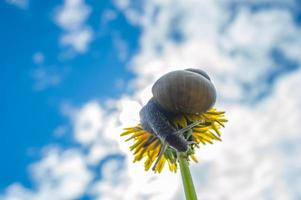 Macro photo of little snail on yellow dandelion Snail in the green grass after rain
