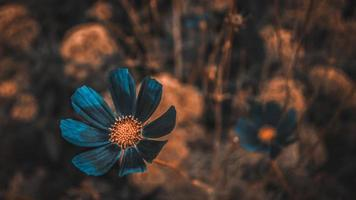Mexican blue aster on red background photo