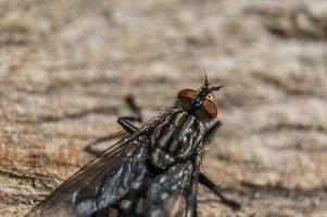 Fly in macro with big red eyes photo