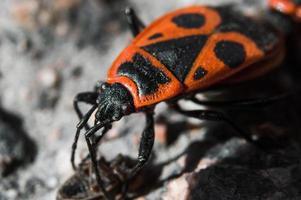 Soldado escarabajo o firebug en macro con fondo borroso foto