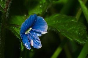 Blue flower of Speedwell or Veronica with drops of water closeup Flowers after rain in green blurred background from grass photo