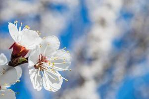 Apricot flowers with white and pink petals photo