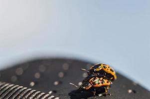 Bugs with orange body and black dots in macro photo