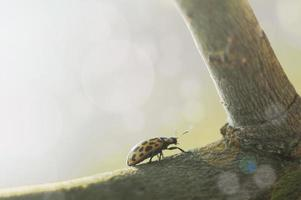 Beetle yellow with black dots photo