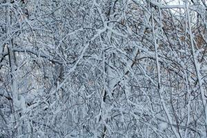 Fluffy white snow on branches photo