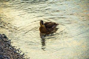 Pato en las plácidas aguas del lago de Garda en Riva del Garda, Trento, Italia foto