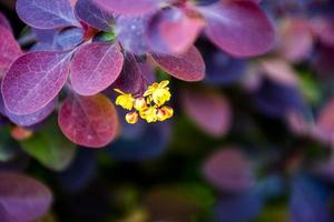 Close-up de un grupo de agracejo amarillo con hojas de color púrpura foto