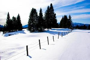 Pines and snow photo