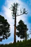 Viejo árbol muerto en Asiago, Italia foto