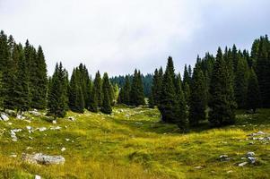 Pines in the Ortigara mountain in Asiago photo
