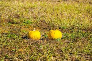 Pumpkins on the field photo