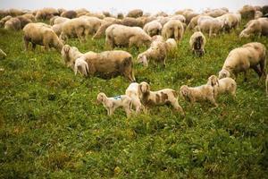 Pastoreo de ovejas en la meseta de Asiago, cerca de Vicenza, Italia foto