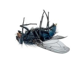 Close up of a dead fly lying on its back photo