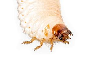 Cockchafer grub just before hatching isolated on white photo