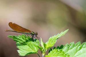 Bronze splendor dragonfly sits on nettle leaves against blurred brown background with copy space photo