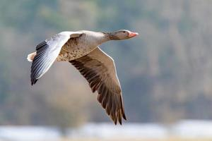 Single gray goose flying in front of blurred background photo