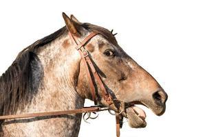 Retrato de un caballo cuarto de milla aislado en blanco foto