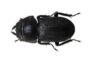 wood shrike black beetle isolated on white photo