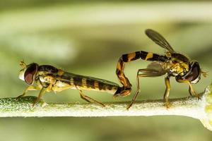 Two hoverflies in mating on a flower stalk photo