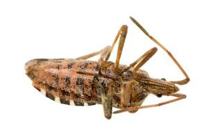 Closeup of a dead brown bug cockroach isolated photo