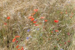 Wheat ears with blue cornflowers and red poppy before harvest as background photo