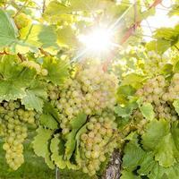 Uvas amarillas maduras cuelgan en la luz de fondo directa del sol en el arbusto foto