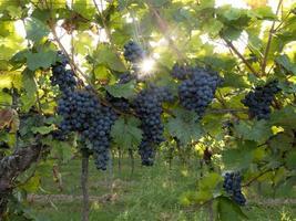 Uvas azules maduras cuelgan en la luz de fondo directa del sol en el arbusto foto